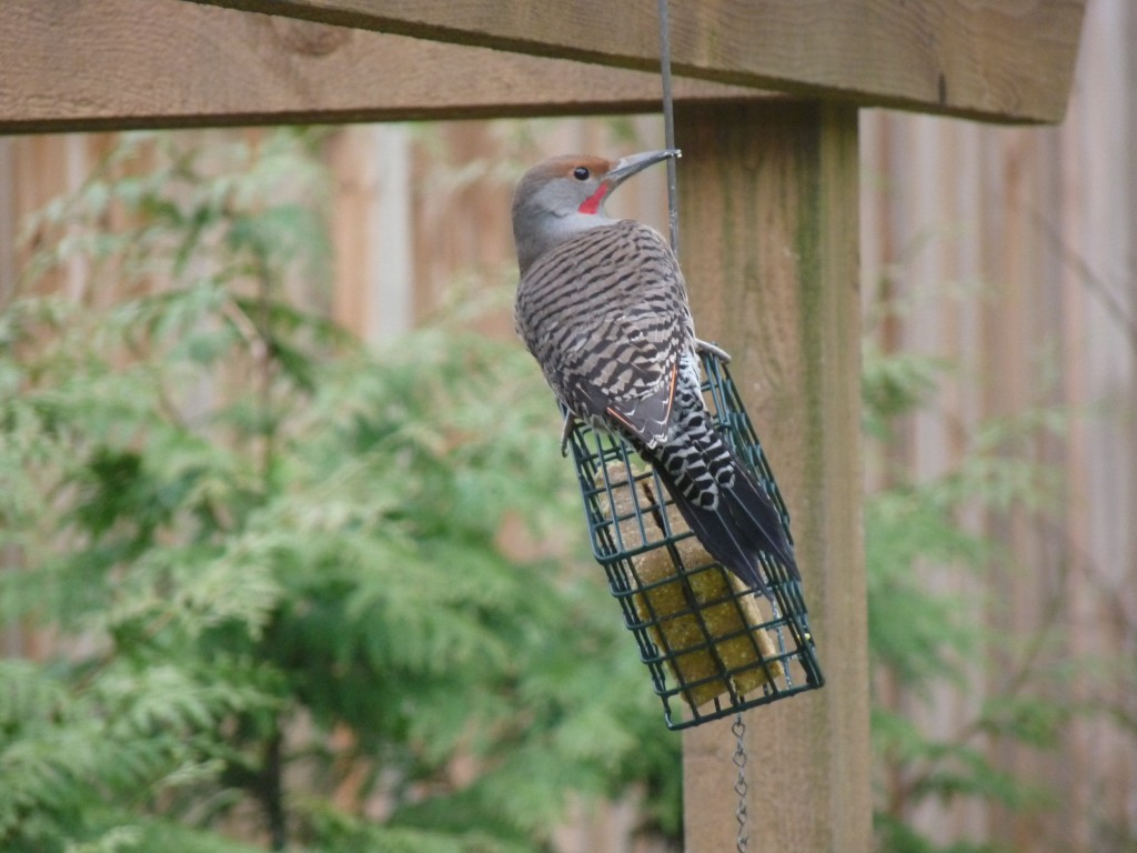 Colaptes auratus, better known as the Northern Flicker, lover of ants and suet.