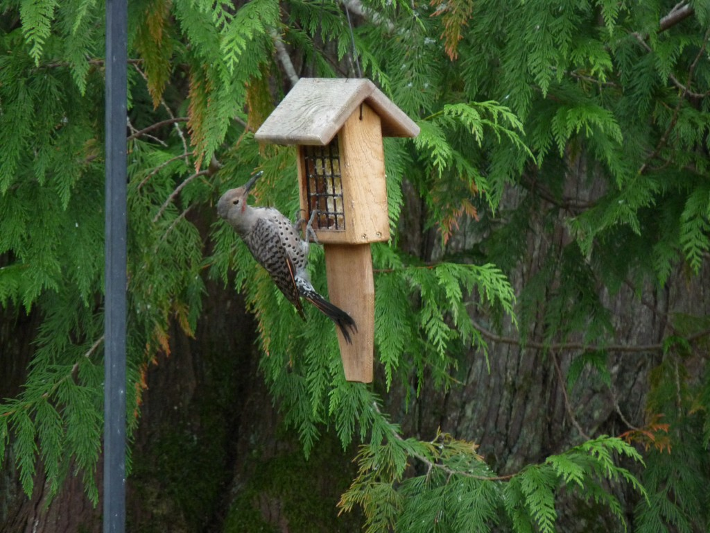 It took a while for the babe to learn how to use this suet feeder. But now he's (or she's?) an old pro.