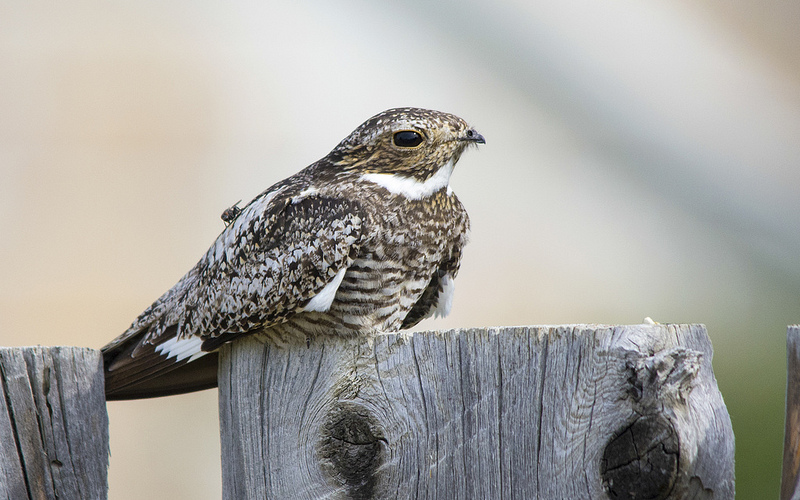 Common Nighthawk Manyberries, AB