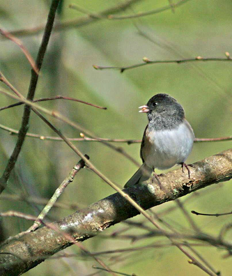 Dark-eyed Junco. Photo by Doug Green.