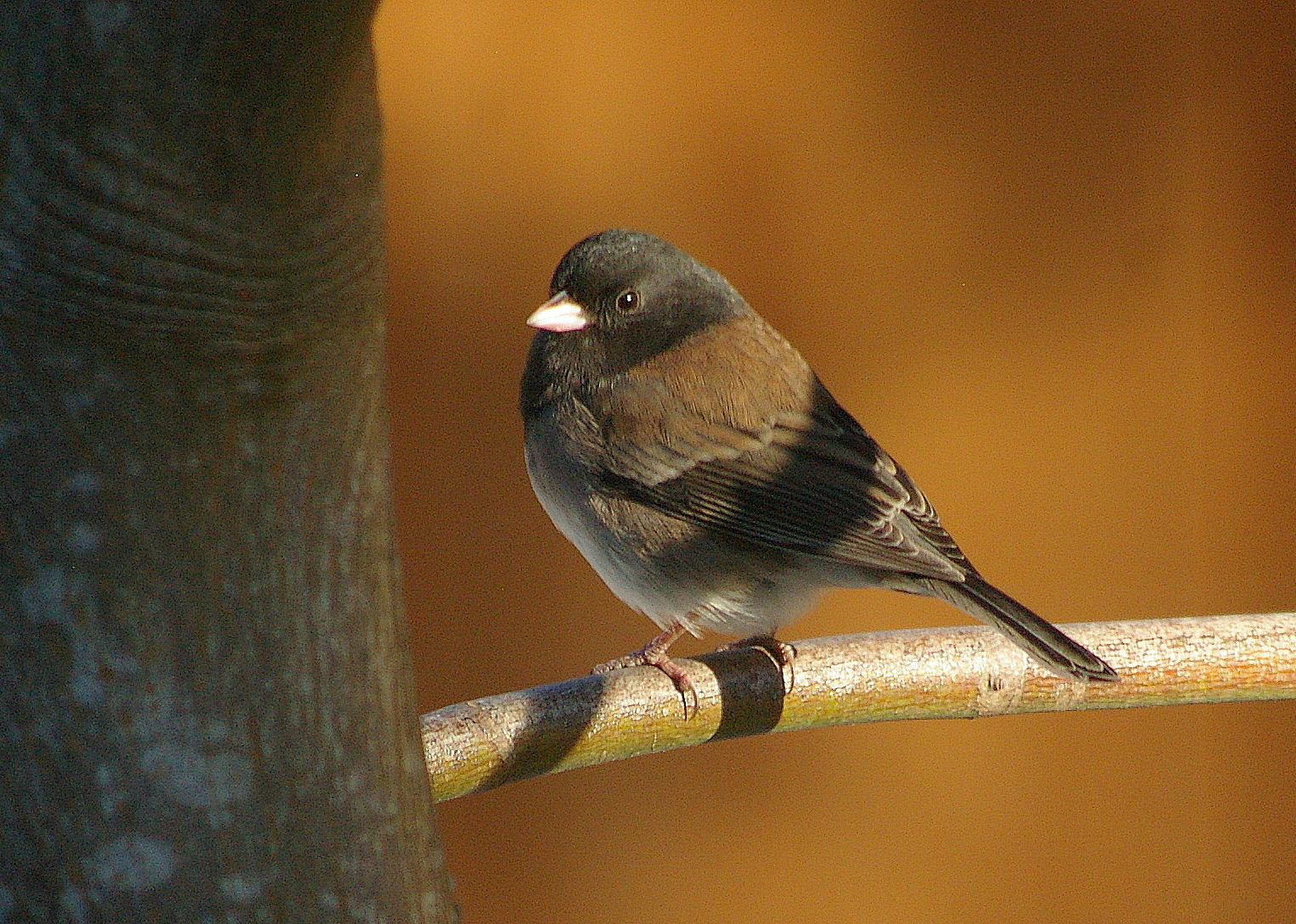 Dark-eyed Junco, Oregon variety. Photo by Garry Davey.