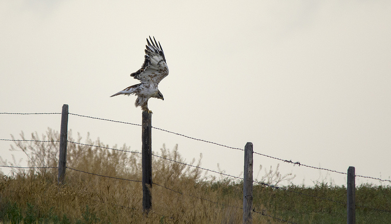 Ferruginous Hawk Nailed the landing!