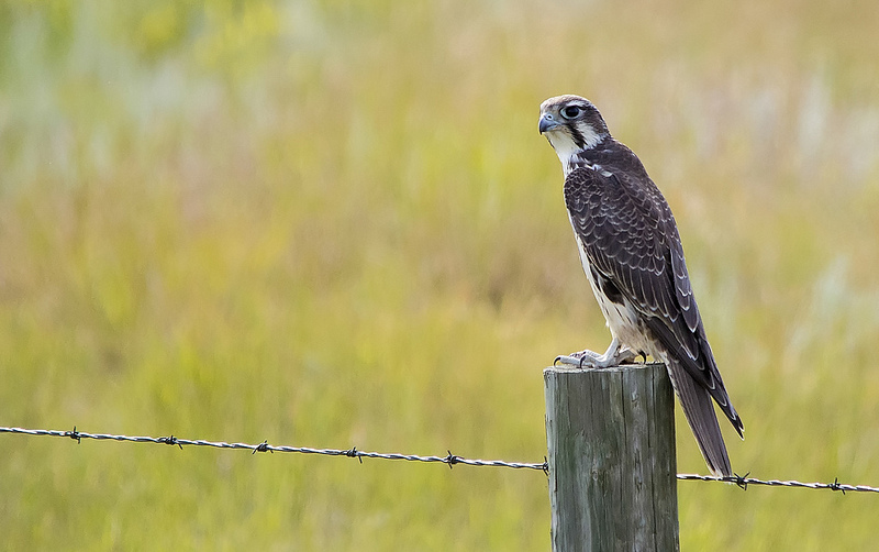 Prairie Falcon east of Pakowki Lake
