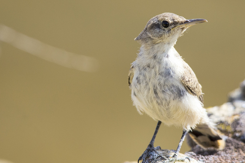 A very curious Rock Wren at Writing-On-Stone Provincial Park