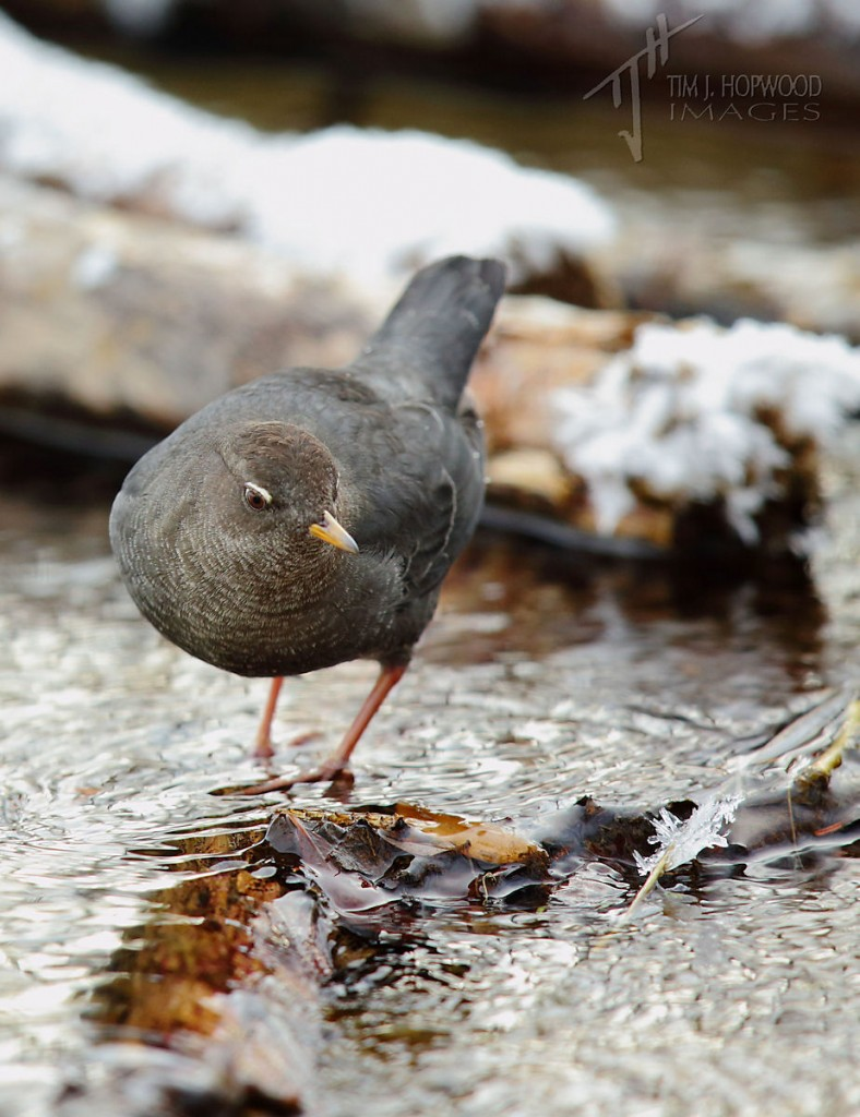 Flitting it and out amongst the rocks and braches in the stream, the Dipper continues its search for food