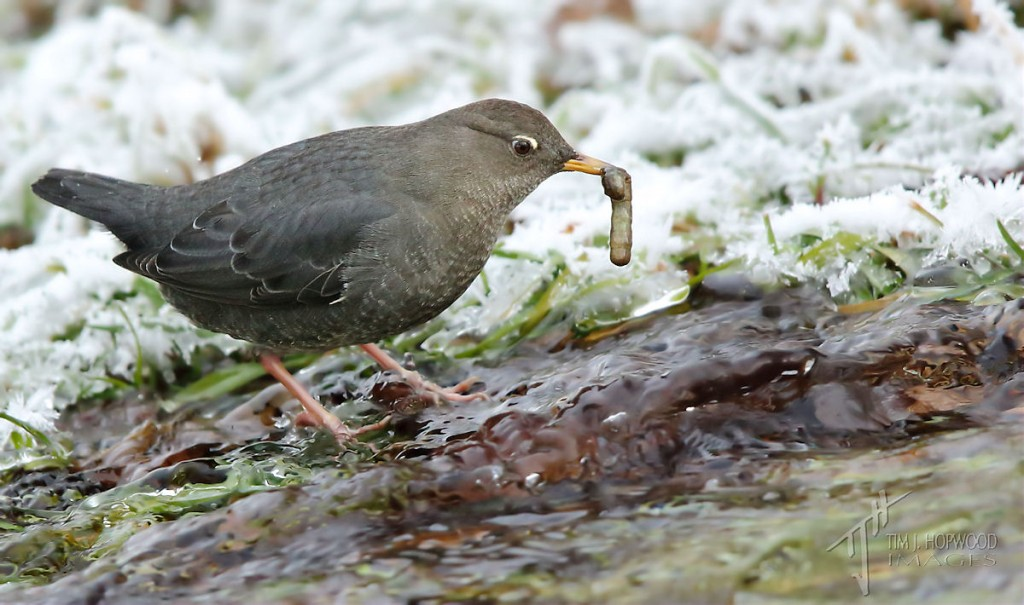 Success! The Dipper finds a juicy insect larvae in the stream. The larvae was still wriggling as it was gobbled down.