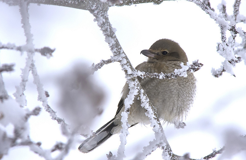 immature Northern Shrike