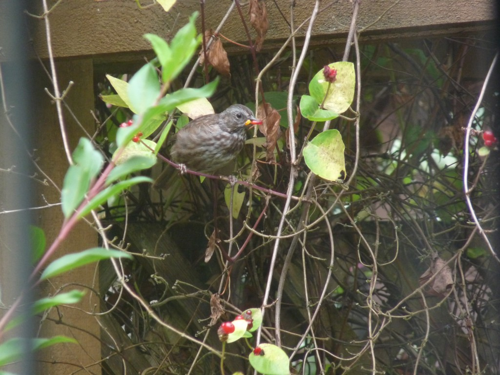 Song Sparrow with honeysuckle berry.