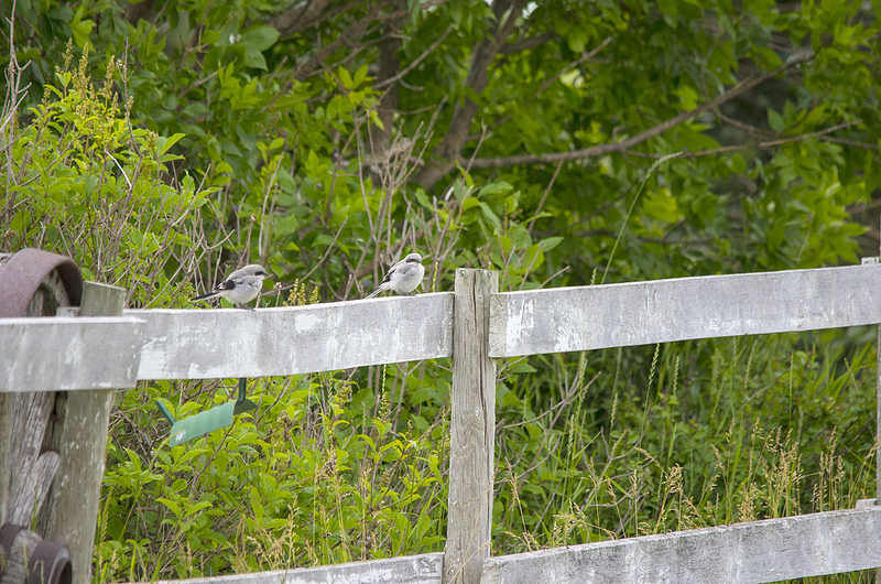immature Loggerhead Shrikes on a fence