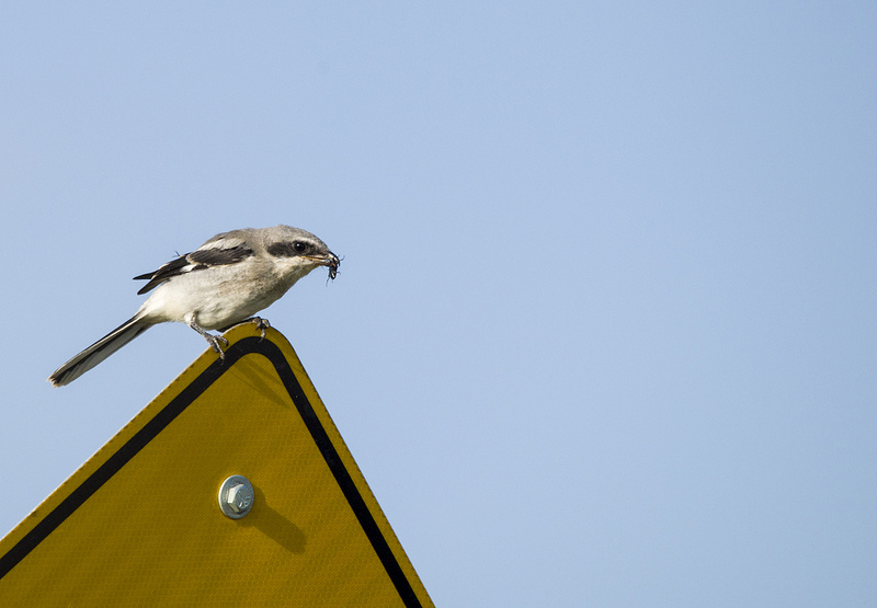 immature Loggerhead Shrike with prey