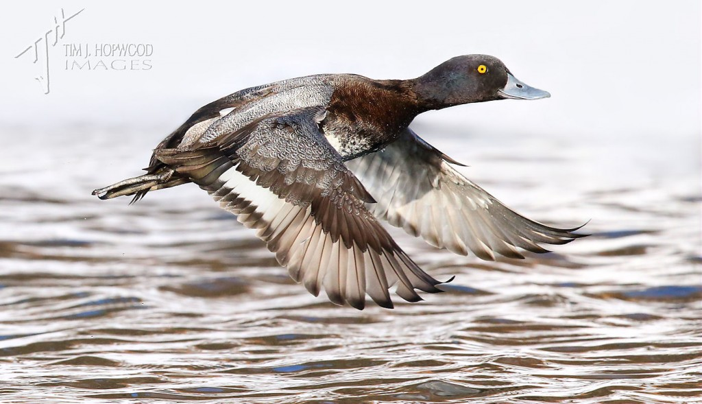 A male Lesser Scaup taking-off from a patch of open water