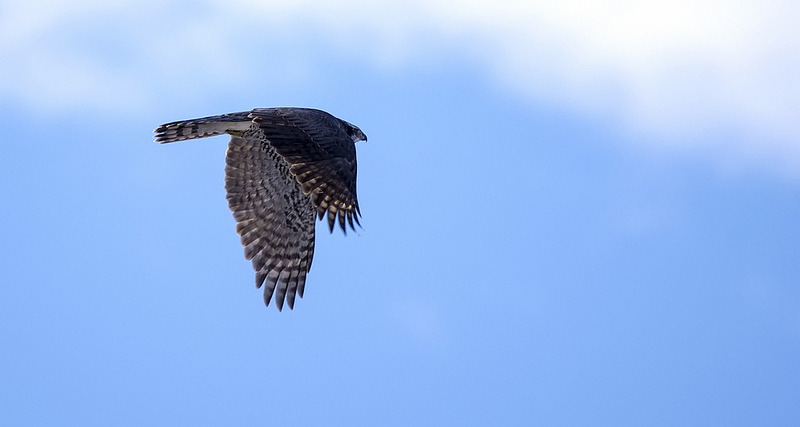 Northern Goshawk in flight Weaselhead Natural Area December 15, 2013