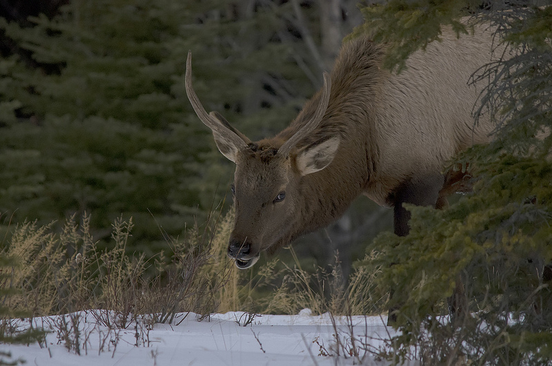 Bull Elk Quarry Lake Area, Canmore December 14, 2013