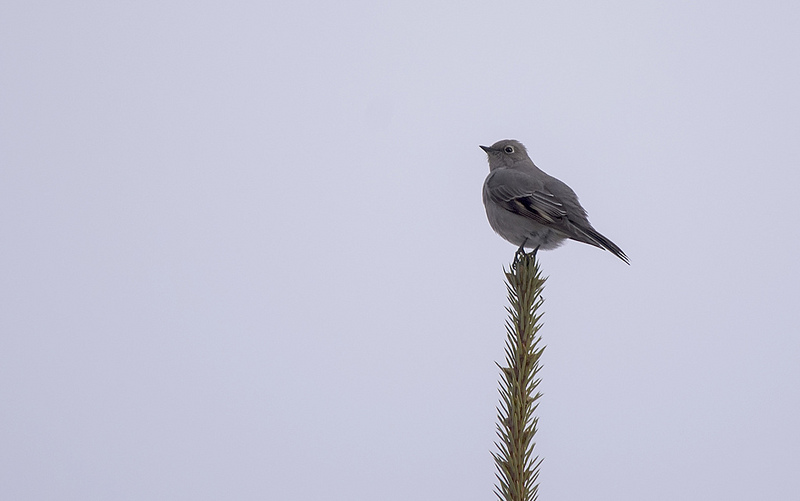 Townsend's Solitaire Quarry Lake Area, Canmore December 14, 2013