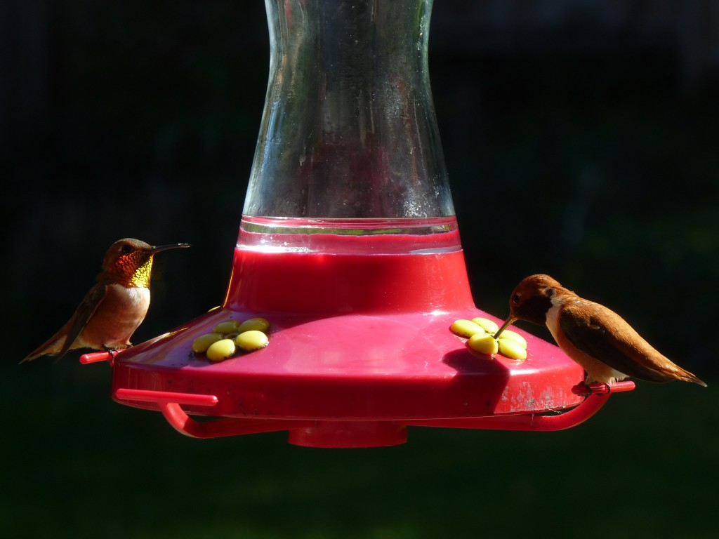 Male Rufous hummers
