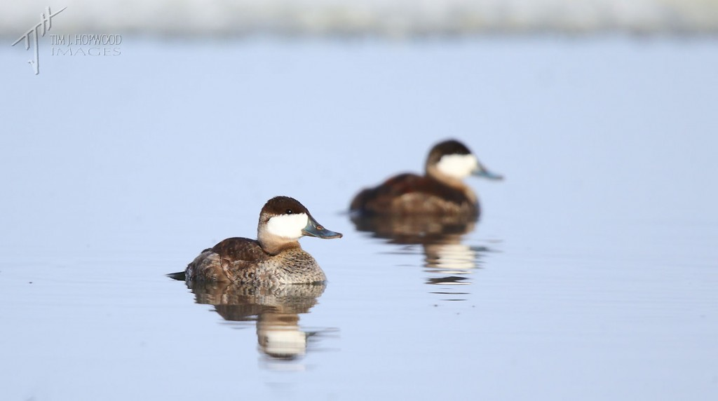 The two male Ruddy Ducks, or as I call them: the Ruddy Brothers.