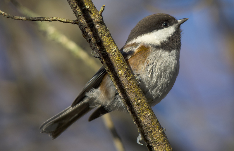 Chestnut-backed Chickadee Courtenay, British Columbia December 2013