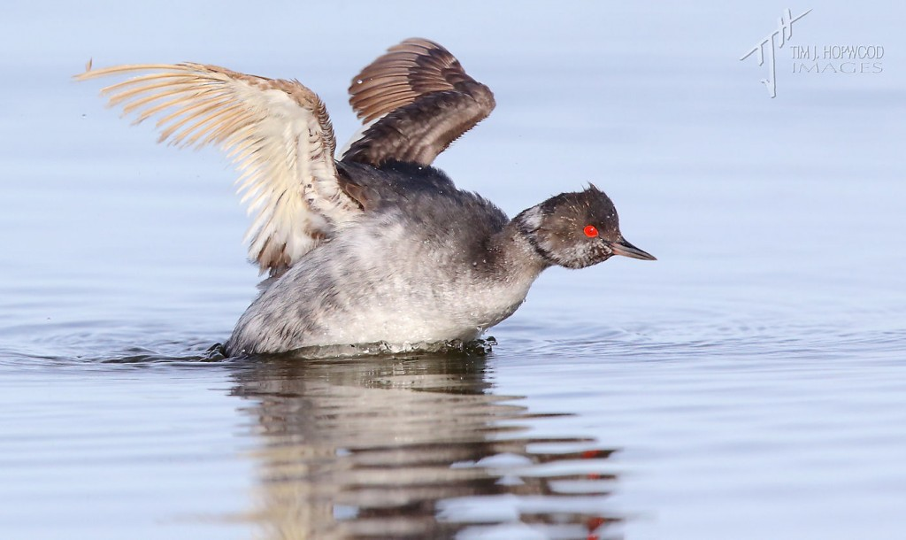 The Eared Grebe showing its flight feather issues on the right wing.