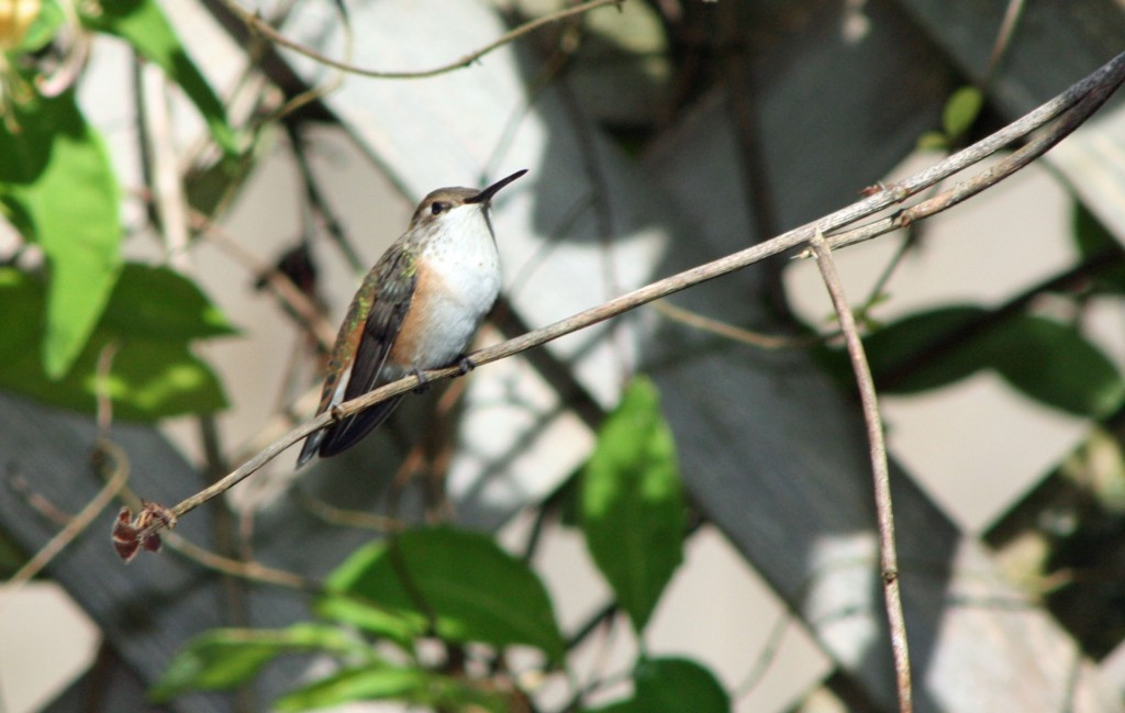 Female Rufous - note the rufous colouring on sides