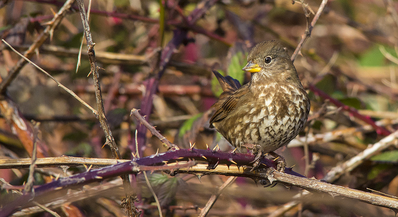 Fox Sparrow Courtenay, British Columbia December 2013
