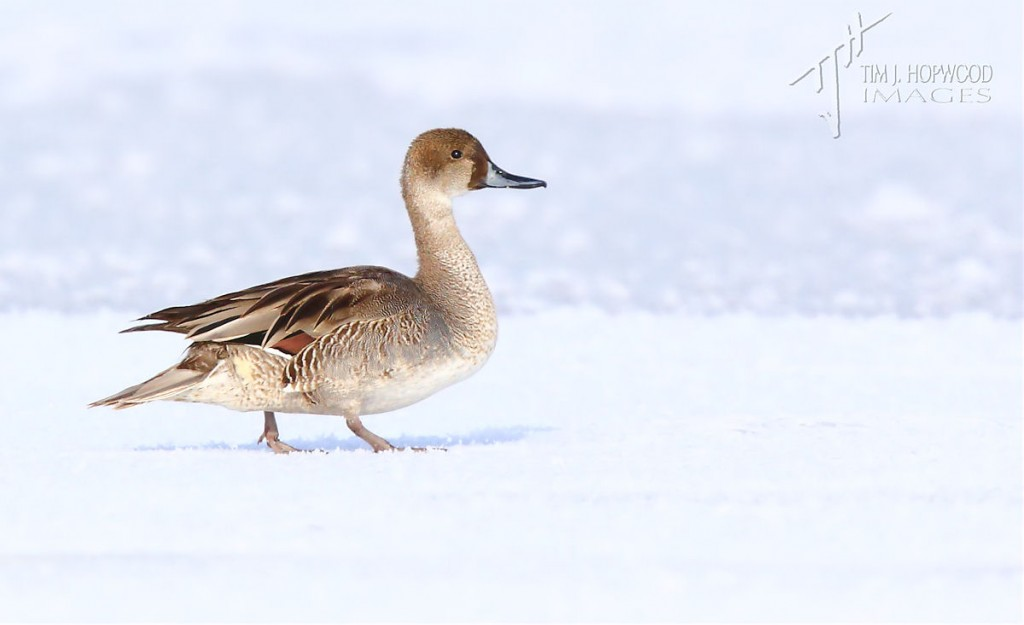 The Gadwall-Pintail hybrid