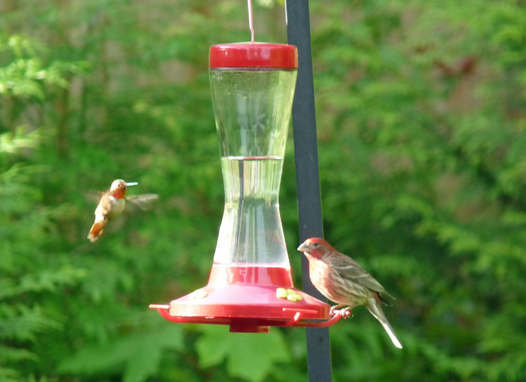 When you're a hummer facing a House Finch, size does matter