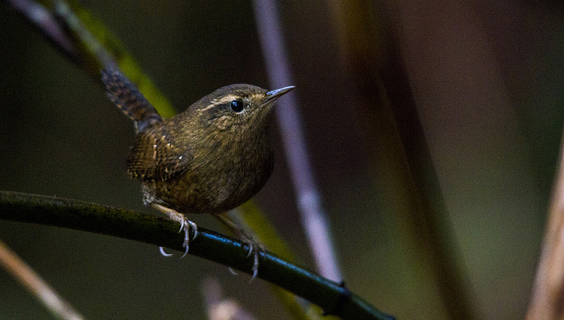 Pacific Wren Courtenay, British Columbia December 2013