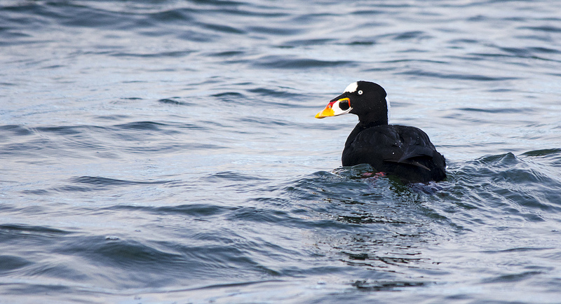 Surf Scoter Comox, British Columbia December 2013