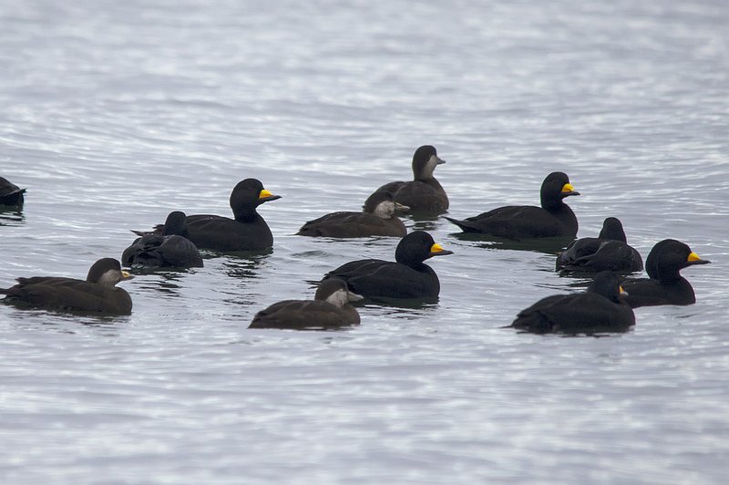 Black Scoters Parksville, British Columbia December 2013