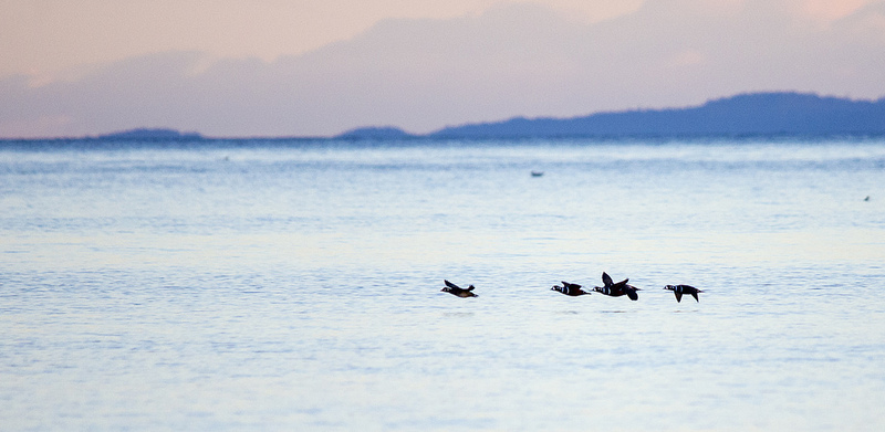 Harlequin drakes at sunset Comox, British Columbia December 2013