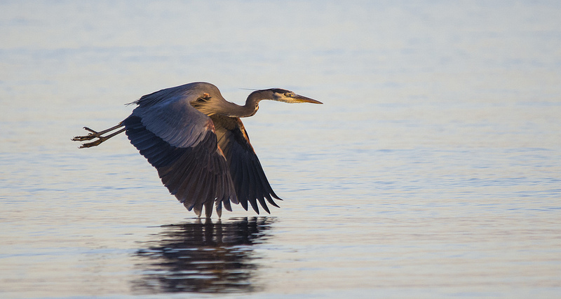 Great Blue Heron Comox, British Columbia December 2013