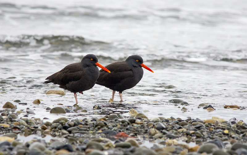 Black Oystercatchers Parksville, British Columbia December 2013