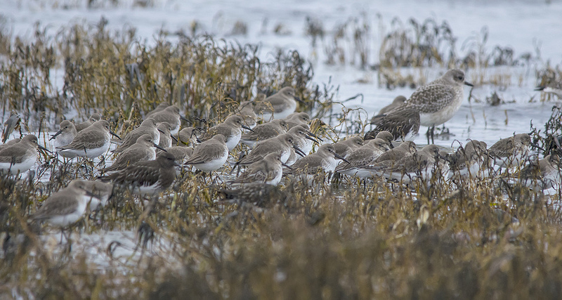 Dunlin, Black-bellied Plover, and Black Turnstone Parksville, British Columbia December 2013