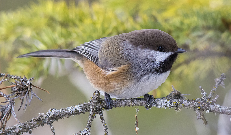 Boreal Chickadee January 2013