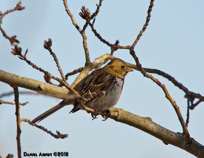 Harris's Sparrow March 2012
