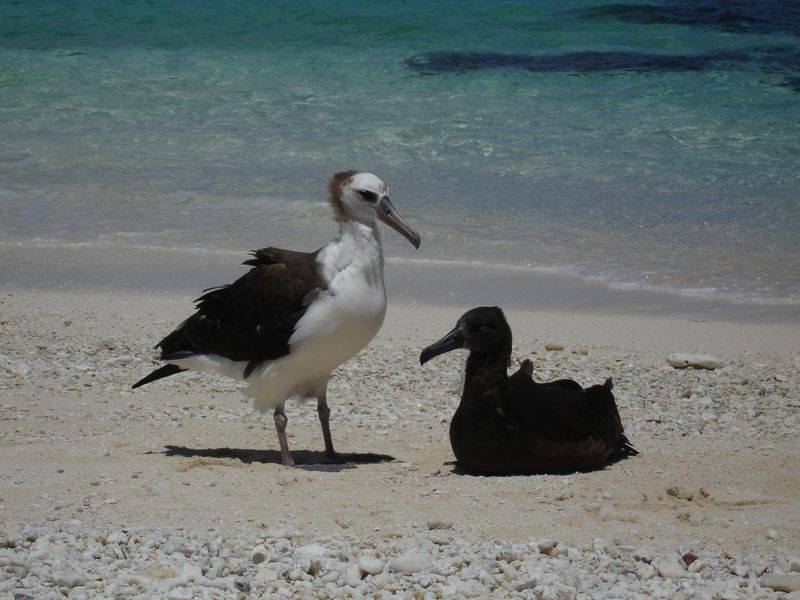 Laysan Albatross and chick.  (Public domain image.