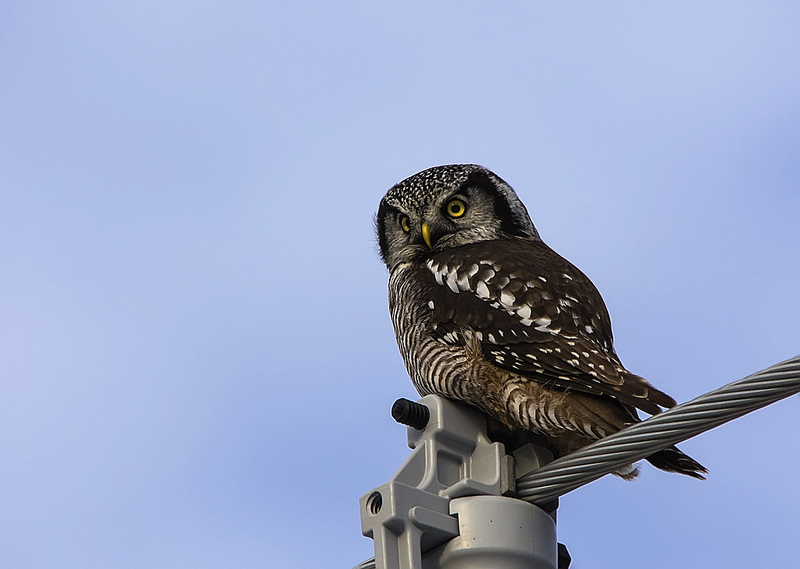 Northern Hawk Owl November 2012