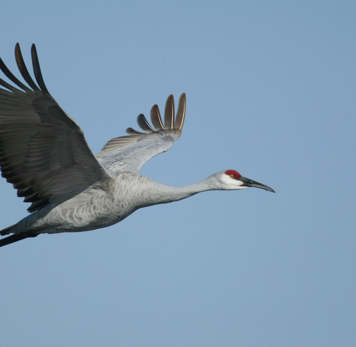 Sandhill Crane in flight  (Photo courtesy USFWS)