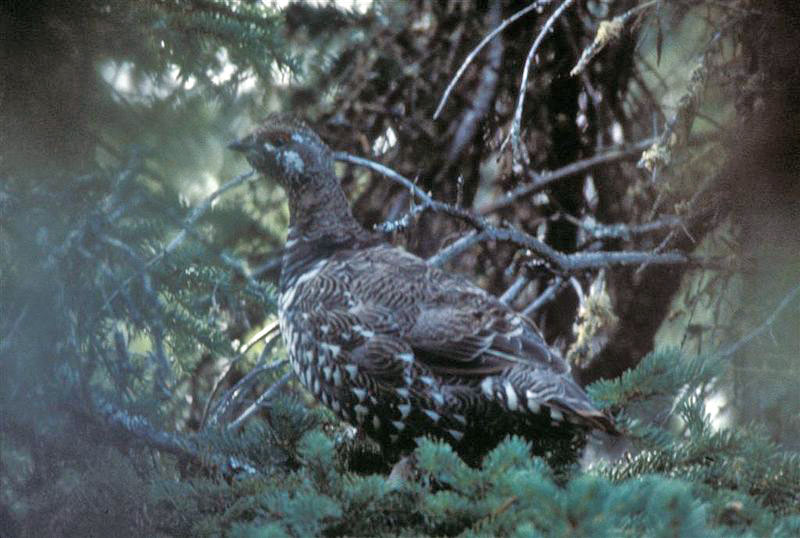 Spruce Grouse (Public Domain image)