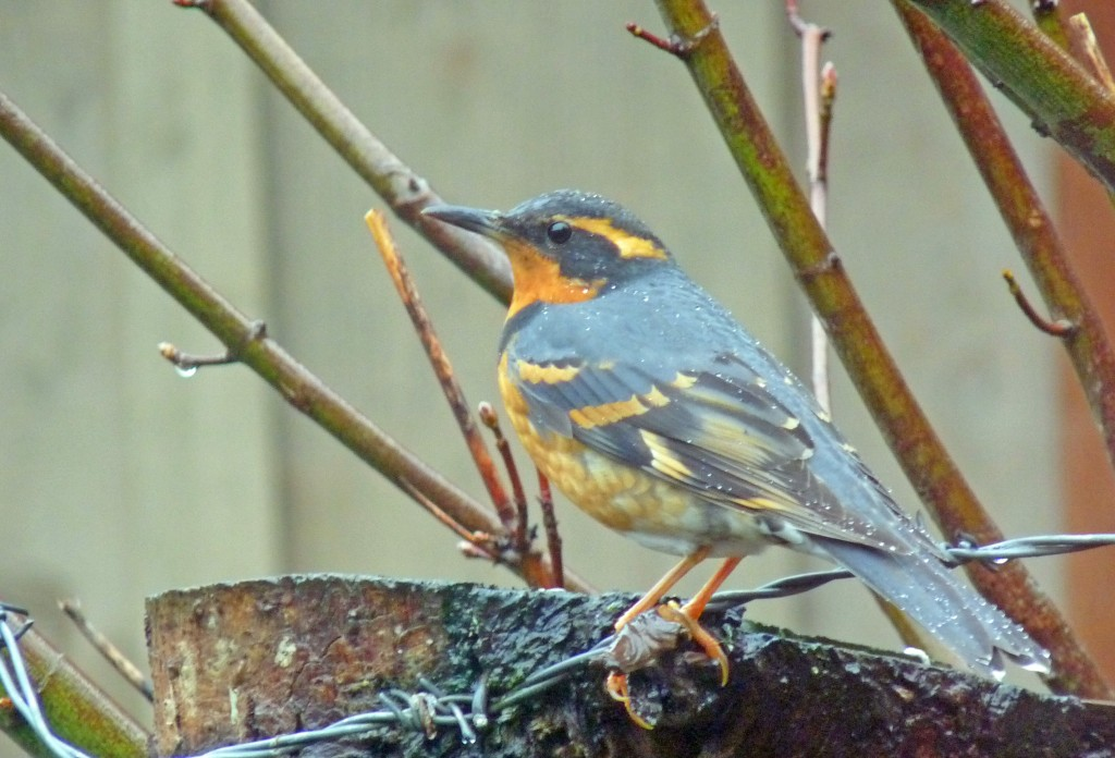 Varied Thrush in my backyard on Gabriola Island