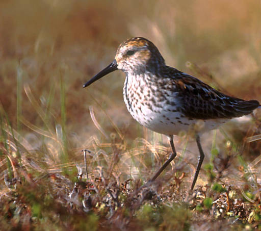 Western sandpiper. (Photo courtesy USFWS)