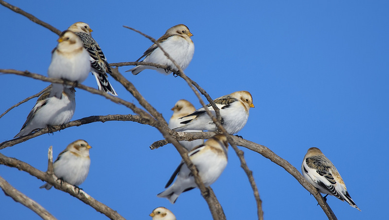 Snow Buntings February 2014