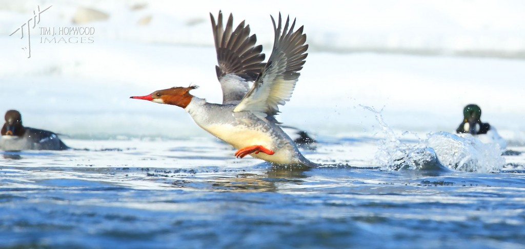 A Common Merganser heading upstream