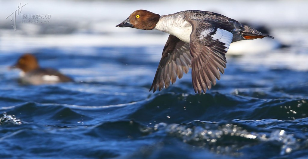 CommonGoldeneye