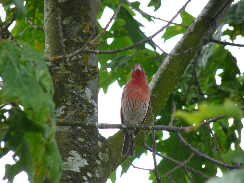 "The male House Finch teaches his particular dialect of the ""House Finch song"" to his male offspring."