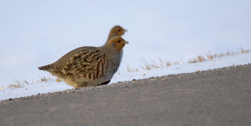 Gray Partridge Frank Lake area, south of Calgary March 5, 2014