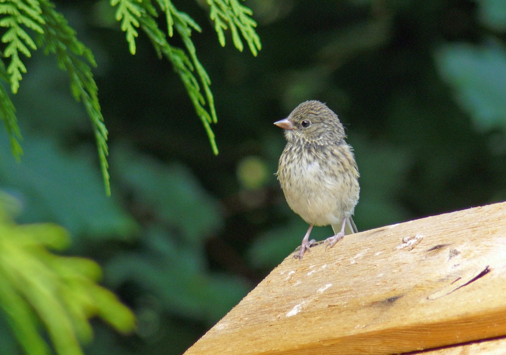 A young House Finch posing for the camera