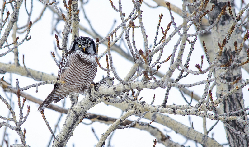 Northern Hawk Owl Turner Valley area, southwest of Calgary