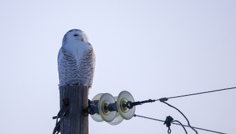 female/immature type Snowy Owl Frank Lake area, south of Calgary