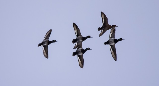 Lesser Scaup March 22, 2014